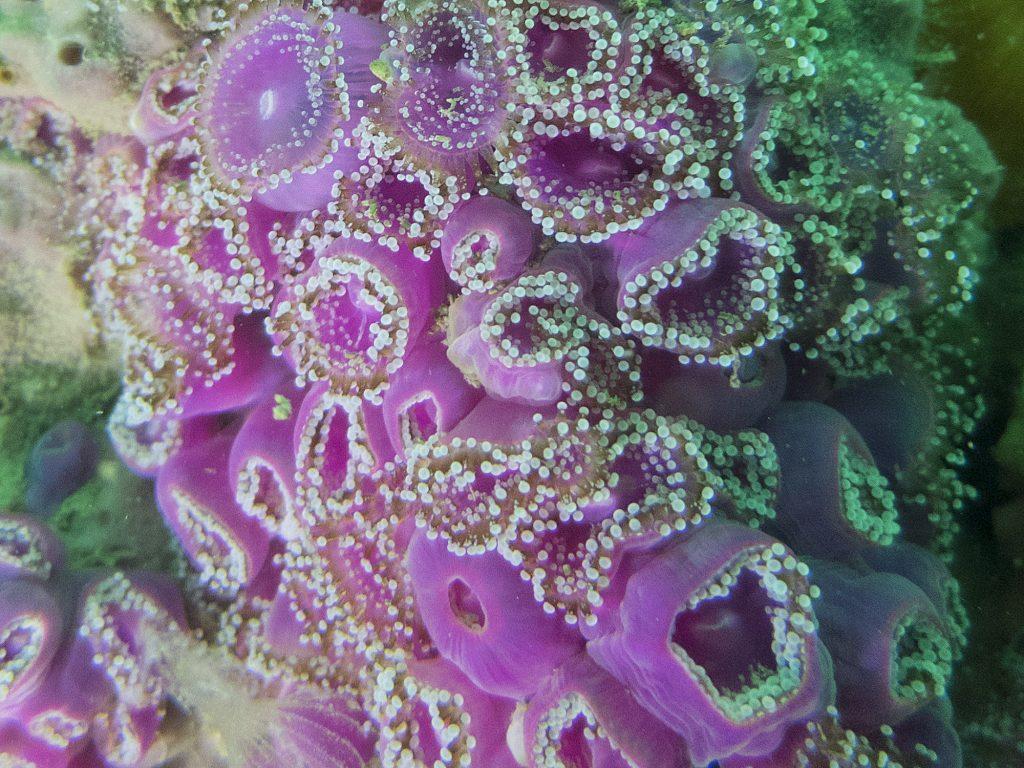 Anémone bijou - Corynactis viridis - Hexacoralliaires