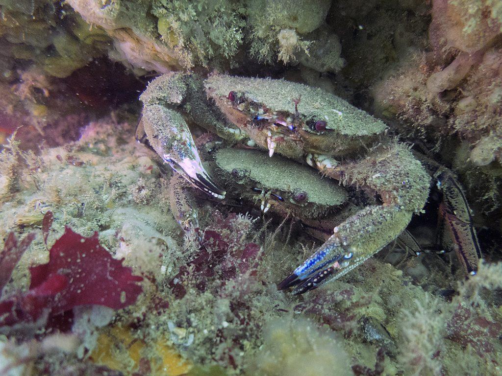 Etrille - necora puber - crustacés